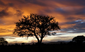 Baoboa tree at sunset